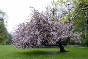 Cherry blossom tree - day